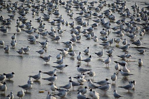 Seagulls, Flock, Birds, Nature, Flying, Sky, Seagull