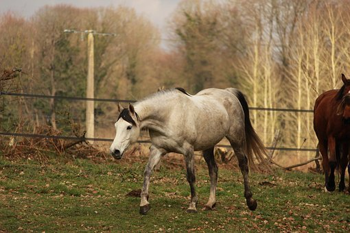 Horses, Horse, Animals, Mare, Trot, Arabian Horse