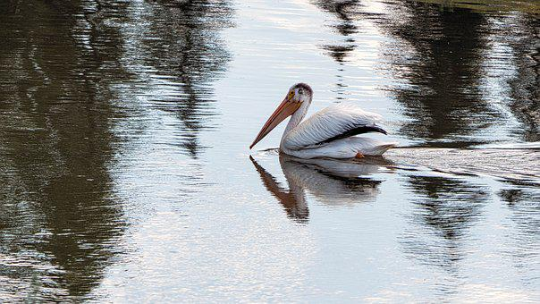 Pelican, Birds, Water, White, Feathers, Wings, Wildlife