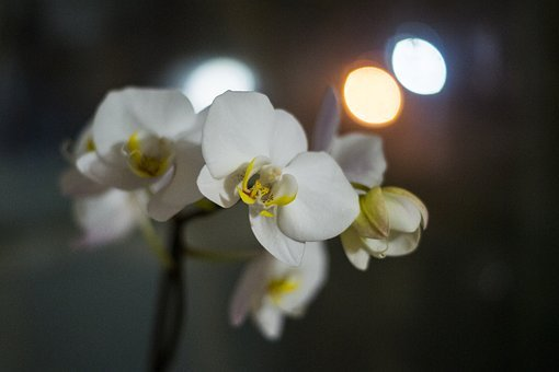 Orchid, Flowers, Evening, White, Exotic, Bloom