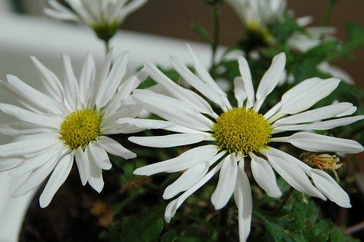 Chrysanthemum Daisy, White Flower, Original From Korea