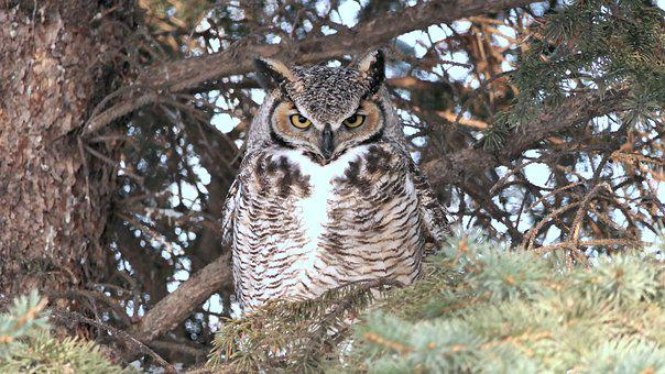 Owl, Great Horned, Nature, Wildlife, Raptor, Nocturnal