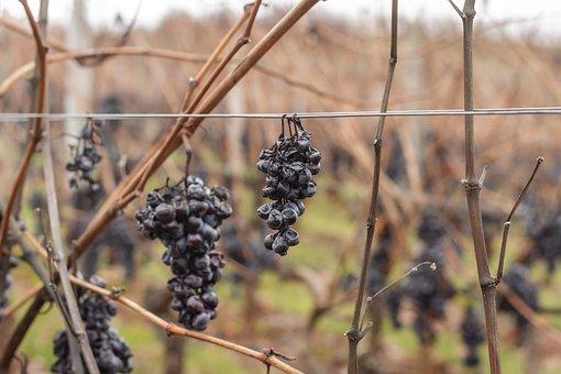 Grapes, Red Wine, Vines, Vineyard, Wine, Grapevine, Rot