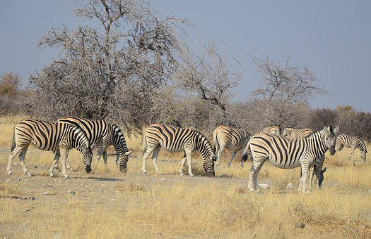 Zebra, Africa, Namibia, Etosha, Stripes