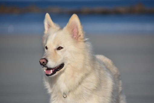 Dog, Cute, Doggy, Dogs, Animals, Beach, Husky