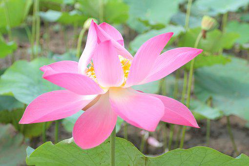 Lotus Flowers, Vietnam, Cell Sen