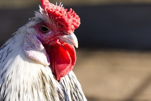 Chicken, Chickens, Comb, Red, Bill, Eye, Close Up