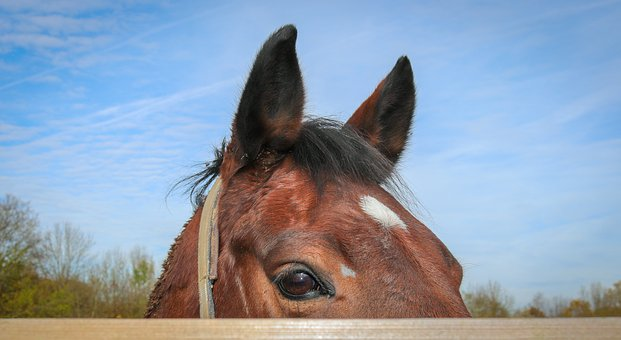 Horse, Horse Head, Animal, Close Up, View, Head, Brown