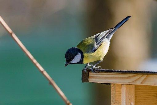Tit, Bird, Songbird, Cute, Nature, Plumage, Bill