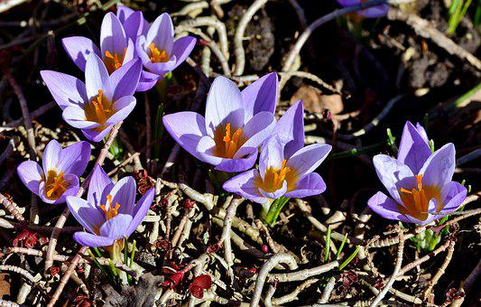 Crocus, Early Bloomer, Blossom, Bloom, Spring