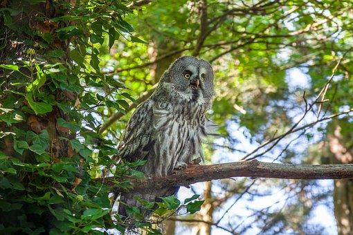 Owl, Grey, Forest, Bird, Feathers, Nature, Wild, Beak