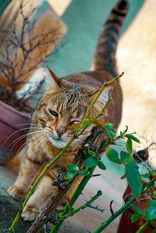 Cat European, Cat, Cat Celtic, Feline, Wink, Brindle
