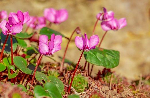 Cyclamen, Flower, Ornamental Plant, Plant, Blossom