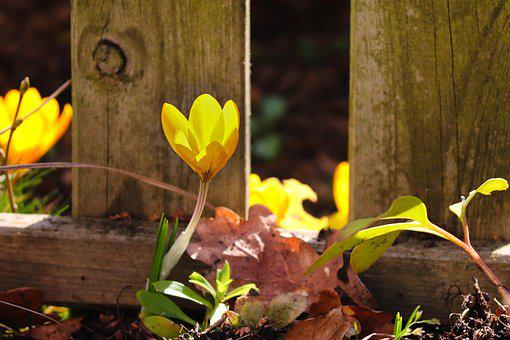 Crocus, Yellow, Fence, Wood Fence, Nature, Flower