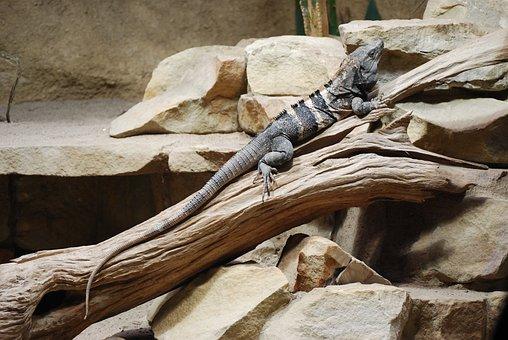 Lizard, Gad, Zoo, Animal, The Lizard, Claws, Iguana