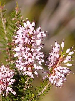 Erica Multiflora, Heather Winter, Wild Flower, Bruguera