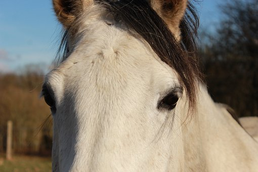 Horse, Horses, Look, Nature, White, Equine, Mare