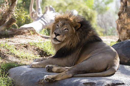 Lion, San Diego Zoo, Mammal, Animal, Wildlife, Predator