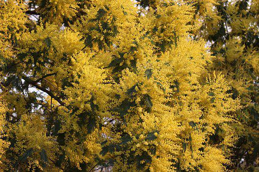 Mimosa, Flowers, Flower, Nature, Plant, Natural, Calm