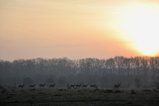 Deer, Netherlands, Nature, Sunrise, Elst