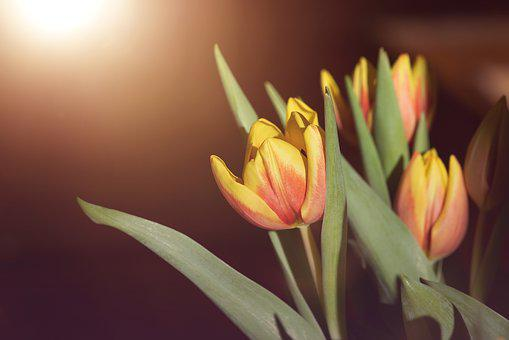 Flowers, Tulips, Red, Yellow, Orange, Tulip Flower