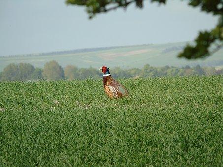 Pheasant, Nesting, Bird Watching, British Birds