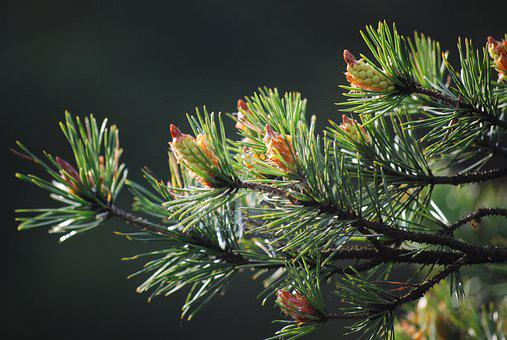 Pine, Forest, Tree, Figure, Evergreen
