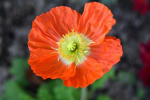 Flower, Orange Blossom, Pistil, Stamen, Flowering