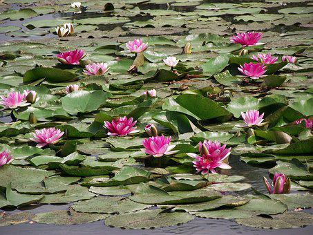Water Lilies, Flowers, Flourishing, Pond, Nature