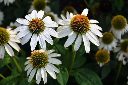 Purple Coneflower, White, Flower, Blooms, Nature