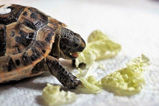Turtle, Cub, Reptile, Terrestrial, Greek, Tan, Tropical