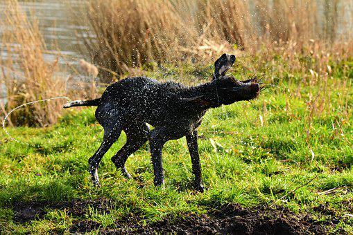 Dog, Domestic, Pet, Shaking, Wet, Water Droplets
