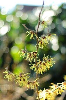 Hamamelis, Shrub, Yellow, Winterbloeier, Flowers