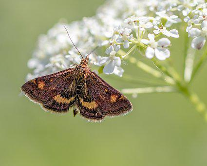 Small- Purple-and-gold, Moth, Micro, Wings, Nature