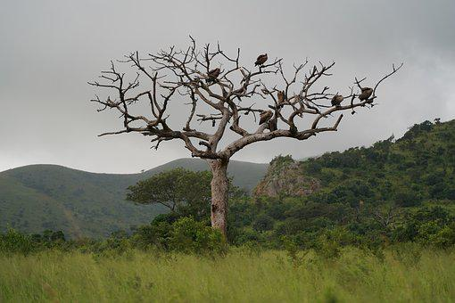 Tree, Vulture, Africa, Safari, Trees