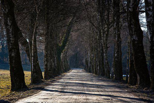 Avenue, Tree Lined Avenue, Trees, Birch, Winter, Cold