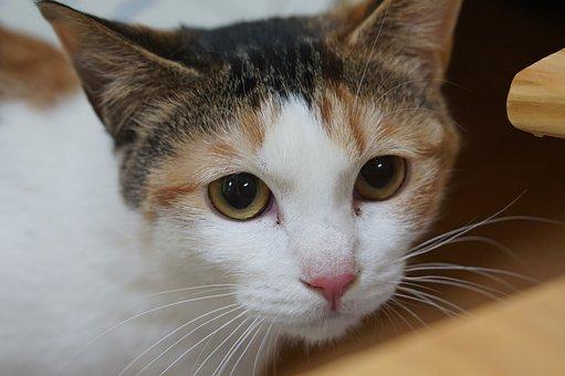 Tricolor, Cat, Baby Cats, Gilnyangyi, Pet, Animal