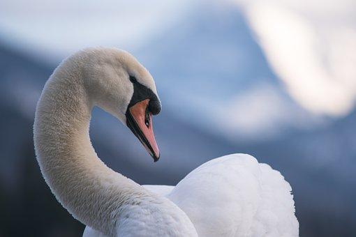 Swan, Lake, Water, Bird, Animal, Nature, Waters
