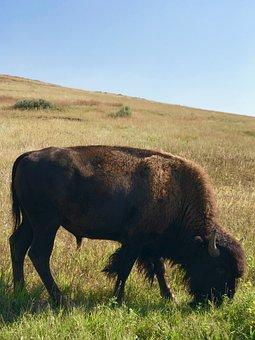 Bison, Wild Bison, Theodore Roosevelt National Park