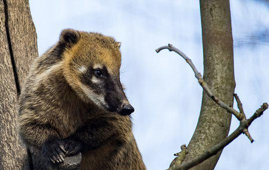 Coati, Mammal, Animal, Animal World, Nature, Tree, Cute