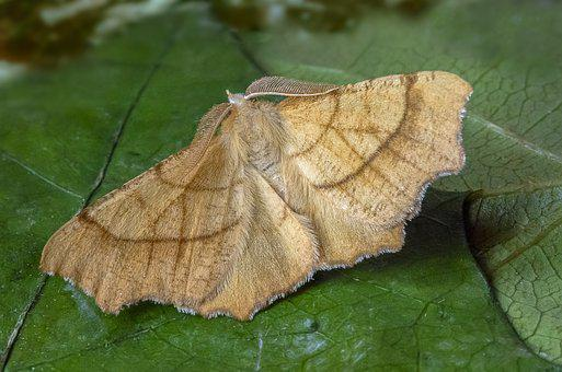 Moth, August-thorn, Wings, Antenna, Pattern, Nature