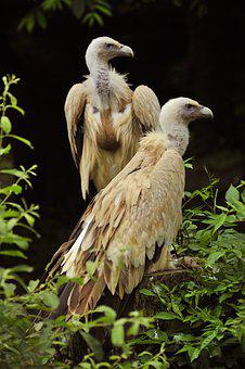 Griffon Vulture, Raptor, Birds, Nature, Animals, Beak