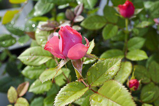 Roses, Plant, Nature, Blossom, Bloom, Red, Pink