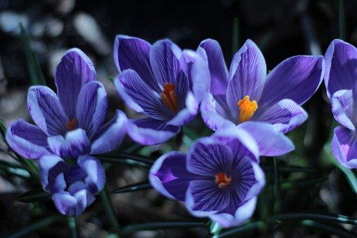Crocus, Blue, Orange, Stamen, Pestle, Garden, Spring