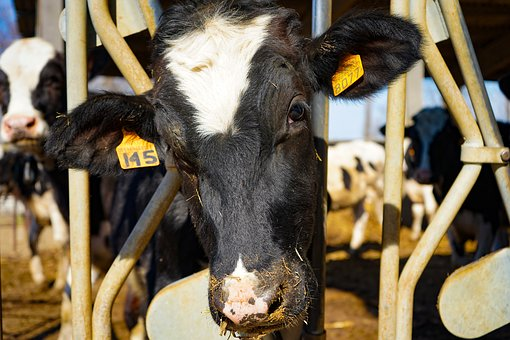 Cow, Frisian, Friesian Cows, Spotted, Bovino, Breeder