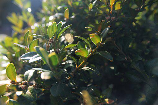 Buxus, Plant, Green, Garden, Boxwood, Leaves, Bush