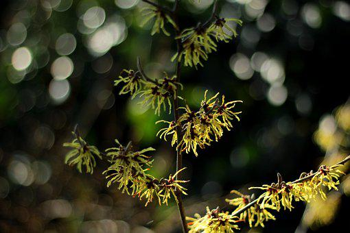 Hamamelis, Witch Hazel, Yellow, Winter, Light, Bush