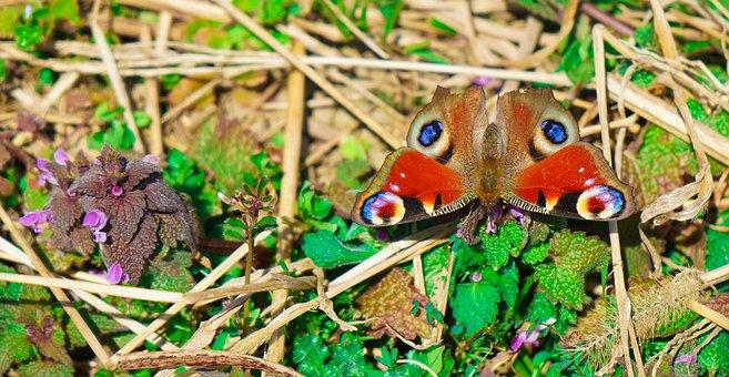 Butterfly, Vanessa I, Peacock's Eye, Moth Ubiquitous