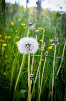 Meadow, Dandelion, Nature, Plant, Summer, Spring