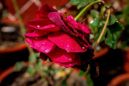 Rose, Water Drops, Nature, Wallpaper, Wedding, Drip